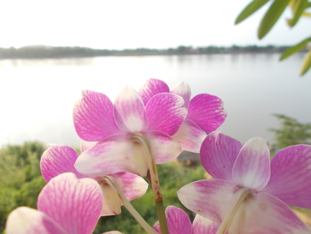 loei: Orchid and the Mekong river , Chiang Khan , Loei , Thailand.