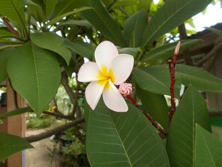 champa flower: Champa flower.