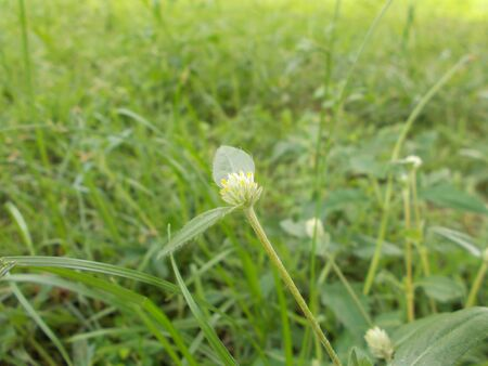button grass: bachelors button,Button agaga, Everlasting,Gomphrena,Globe amaranth,Pearly Everlasting,White grass flower.