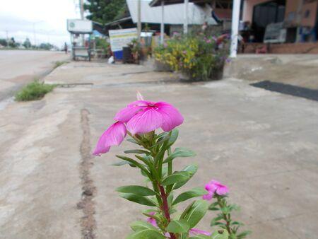 road side: Beautiful flower along road side.