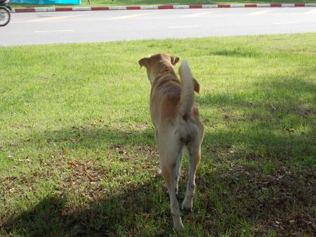 lovely: A lovely Thai dog.