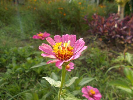 blemishes: Pink Wedelia in Thailand,Pink flower.