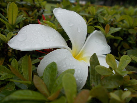 champa flower: White champa flower and the rain Stock Photo