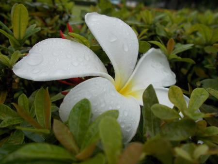 champa flower: White champa flower and the rain Stock Photo