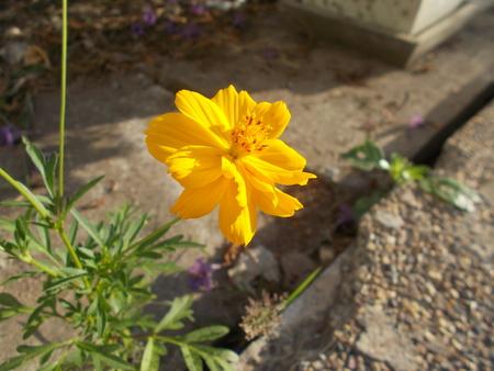 yellow: Yellow wedelia. Stock Photo