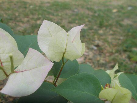 White Bougainvillea.
