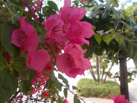 Pink Bougainvillea.