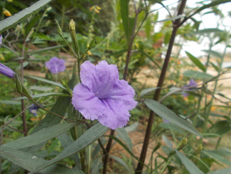 Brittoniana Purple Showers,Mexican petunia,Purple flower,Toi Ting flower.