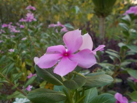 mahasarakham: Purple flower at Mahasarakham. Stock Photo