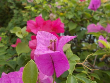 bougainvillea: Bougainvillea. Stock Photo