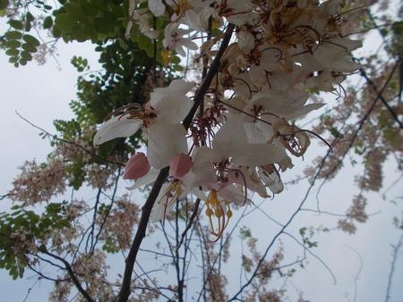 mahasarakham: White Sakura at Mahasarakham, Thailand.