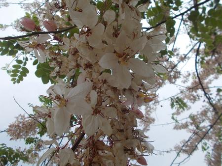 mahasarakham: Whiite Sakura at Mahasarakham, Thailand