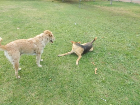 perros jugando: Perros que juegan juntos en la pradera de hierba en Mahasarakham, Tailandia Foto de archivo