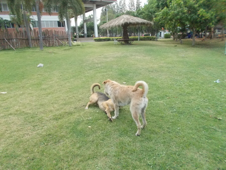 mahasarakham: Dogs playing together on grass meadow at Mahasarakham, Thailand