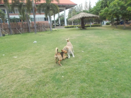 dogs playing: Dogs playing together on grass meadow at Mahasarakham, Thailand