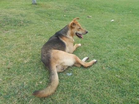 mahasarakham: Dog lying on green meadow at Mahasarakham
