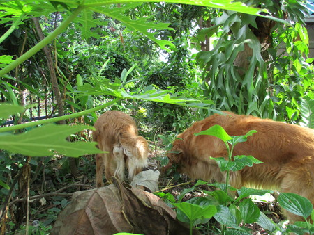 papaya flower: Two Golden retriever dogs are hunting something in the forest