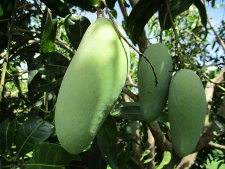Mango in a tree at Sukhothai, Thailand