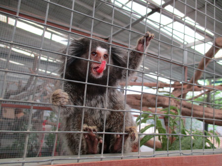 cage gorilla: Monkey in cage, Thailand showing its tongue Stock Photo