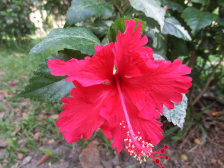 korat: Red Chinese rose ,hibiscus at Nakhonratchasima, Thailand