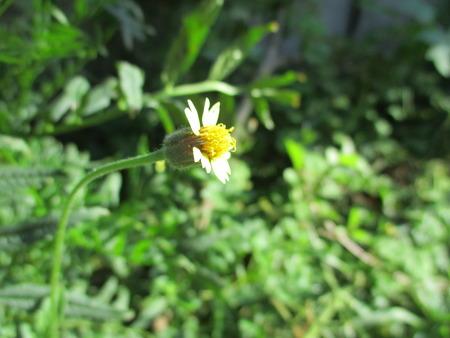 grass close up: Tridax procumbens Stock Photo