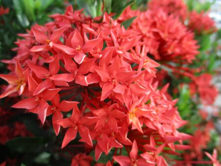 ixora: Red Ixora Stock Photo