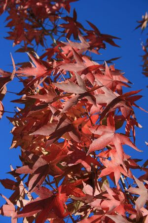 Red autumn leaves with a blue background