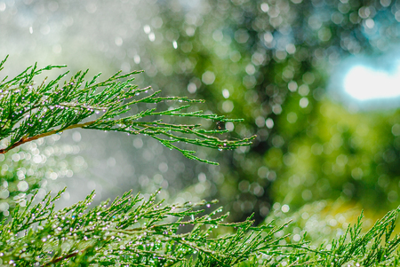 Drops of dew on juniper. Green juniper branches in the summer sun. Outdoor shooting with green blur and bokeh in garden background