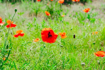 Flower poppy flowering on background poppies flowers