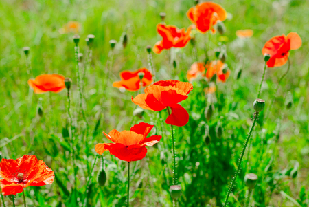 Flower poppy flowering on background poppies flowers 스톡 콘텐츠 - 127247012