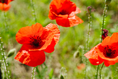 Flower poppy flowering on background poppies flowers 스톡 콘텐츠 - 127247019