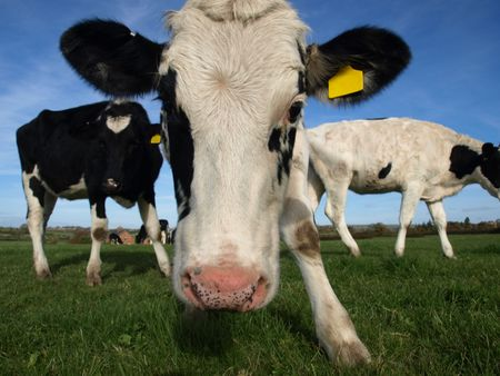 A fresian heifer taking a closer look Stock Photo