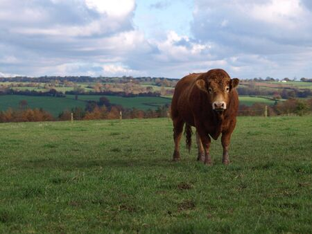 A brown limousin beef cow in rural England Stock Photo