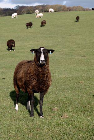 Zwartbles Schafe sind eine seltene Rasse mit Ursprung in Holland, Bnrown mit weißen Gesicht Lizenzfreie Bilder