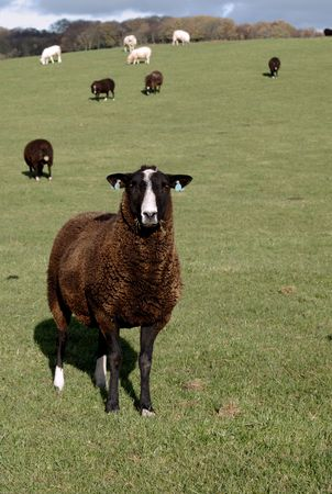a rare: Zwartbles sheep are a rare breed originating in Holland, bnrown with white face Stock Photo