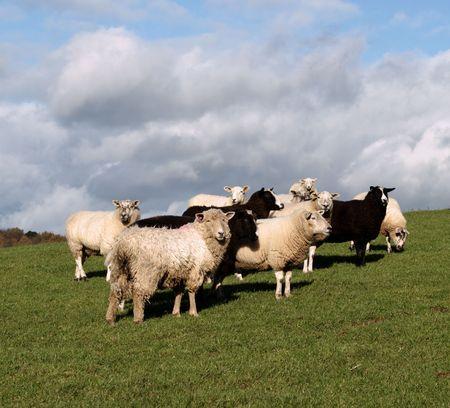 Gemischte Schafherde mit Zwartbles, Dartmoor und britische Milksheep Lizenzfreie Bilder