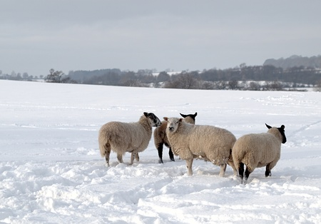 Four sheep in a field of deep snow