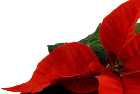 Poinsettia the Christmas Flower isolated over white photo