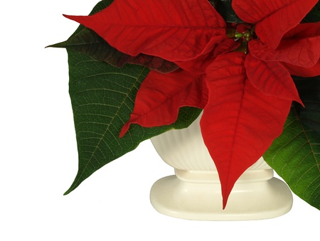 Poinsettia in vase isolated over white