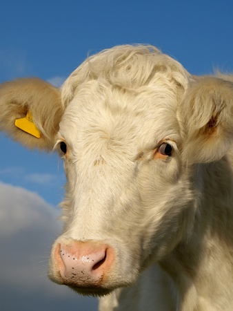 A young white calf's head against blue sky. Stock Photo - 8440604