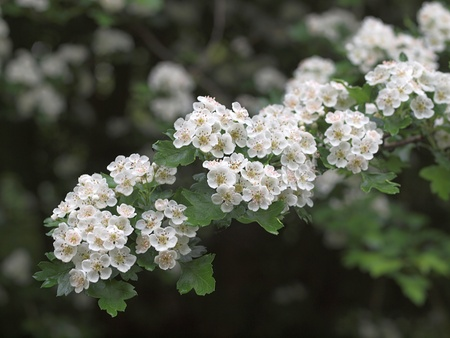 Hawthorn or May blossom, a sign Spring has arrived in the hedgerow Stock Photo