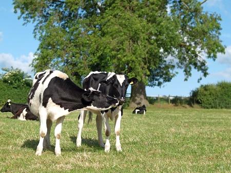 Paar von schwarzen und weißen Holstein Kälber küssen