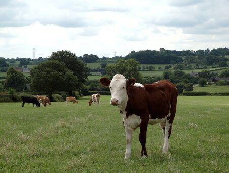 Hereford Rind-Kalb stehend auf der Wiese