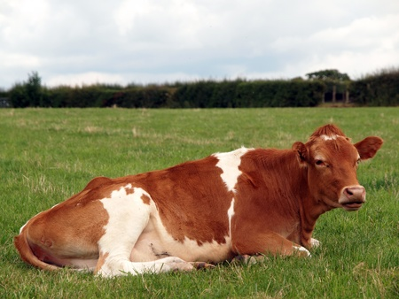 young guernsey cow lying chewing the cud photo