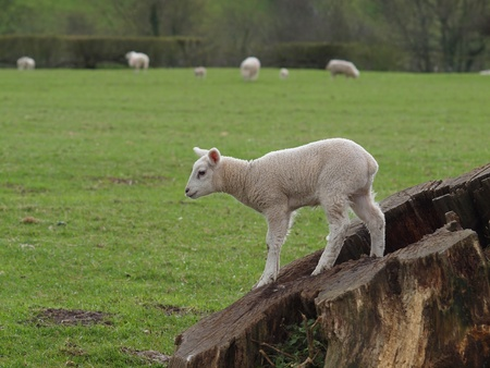 Playful spring lamb standing on tree stump in meadow