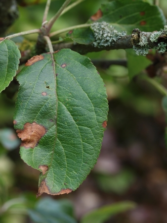 Lesions caused by alternaria fungus on diseased apple leaf Stock Photo