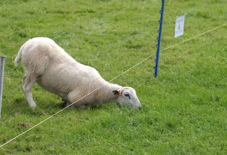 sheep eating grass on the other side of electric fence Stock Photo