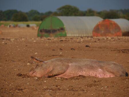 pig lying down sleeping in mud Stock Photo