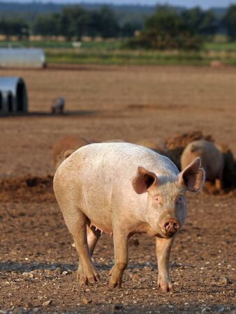 pig standing in a muddy field photo