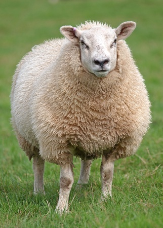 fat woolly sheep standing in green field photo